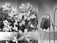Hrvatska flora - strogo zasticene vrste